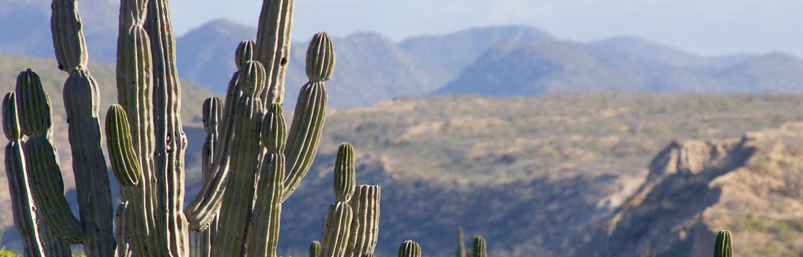 Cactus and Mountains in the Baja Desert