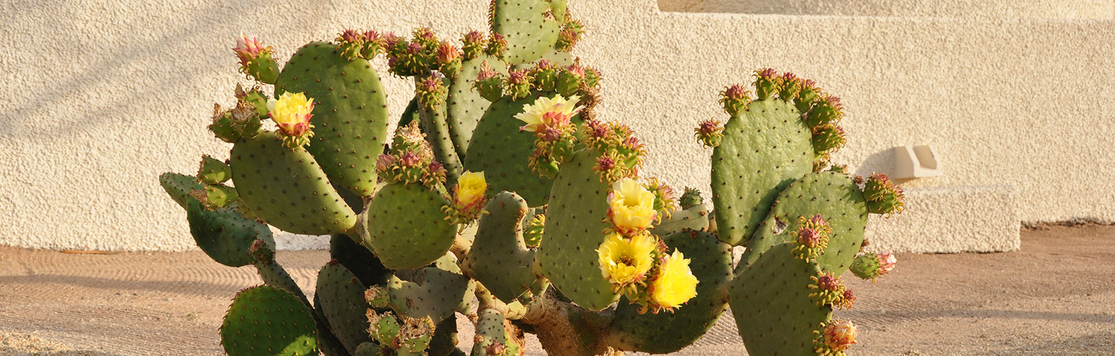 Gardens at Yoga Retreat Mexico: Prickly Pear Cactus in Bloom