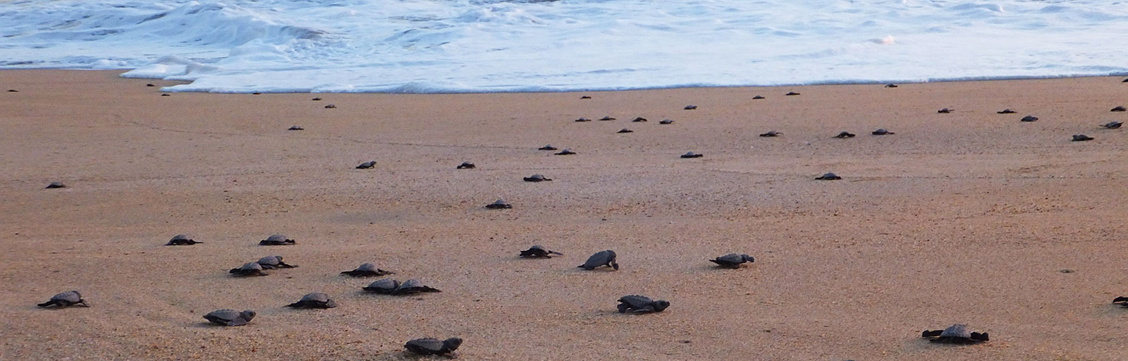 Sea Turtle Release & Mexico Yoga Retreat: Baby Turtles Scrable toward the Water
